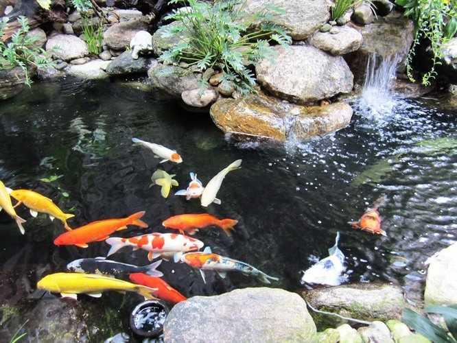 sửa chữa bảo trì định kỳ cho hồ cá koi